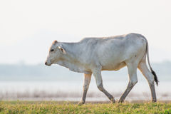 Koeien op groene weide Royalty-vrije Stock Foto's