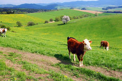 Koeien op het de lenteweiland royalty-vrije stock foto's