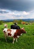 Koeien op het de lenteweiland Royalty-vrije Stock Afbeelding
