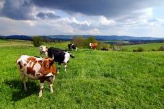 Koeien op het de lenteweiland Stock Afbeelding