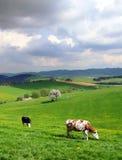 Koeien op het de lenteweiland royalty-vrije stock fotografie