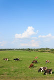Koeien op het gebied royalty-vrije stock foto's