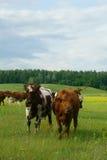 Koeien op het gebied Royalty-vrije Stock Afbeeldingen