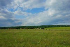 Koeien op het gebied Royalty-vrije Stock Fotografie