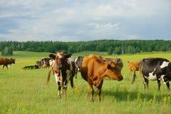 Koeien op het gebied Stock Foto's