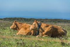 Koeien op het gebied Stock Foto