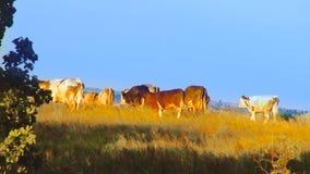 Koeien op het gebied stock video