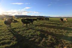 Koeien op het gebied stock afbeelding