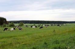 Koeien op het gebied op groen gras en blauwe hemelachtergrond, horizontale mening Stock Afbeeldingen