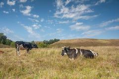 Koeien op het gebied van het weilandgras Stock Foto's