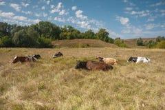Koeien op het gebied van het weilandgras Stock Fotografie