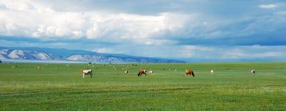 Koeien op het groene gebied Royalty-vrije Stock Foto's