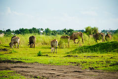 Koeien op het groene gebied Stock Foto's