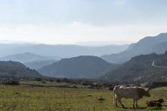 Koeien op het land met heuvels royalty-vrije stock foto