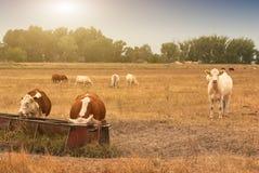 Koeien op het landbouwbedrijf Stock Foto