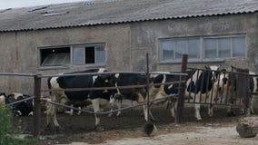 Koeien op het landbouwbedrijf stock footage