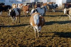 Koeien op het landbouwbedrijf Royalty-vrije Stock Afbeeldingen