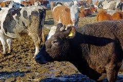 Koeien op het landbouwbedrijf Stock Afbeelding