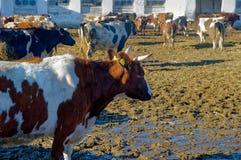Koeien op het landbouwbedrijf Royalty-vrije Stock Foto