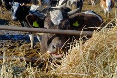 Koeien op het landbouwbedrijf Royalty-vrije Stock Foto's