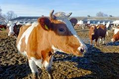 Koeien op het landbouwbedrijf Stock Fotografie