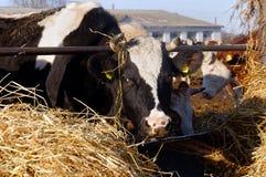Koeien op het landbouwbedrijf Royalty-vrije Stock Fotografie