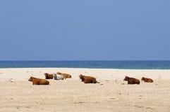 Koeien op het strand. Stock Fotografie