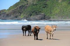 Koeien op het strand Royalty-vrije Stock Afbeelding