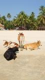 Koeien op het strand Stock Afbeelding