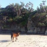 Koeien op het strand stock fotografie