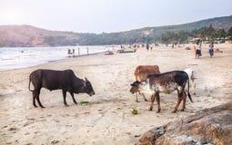 Koeien op het strand in India Stock Afbeelding