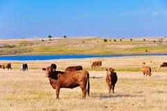 Koeien op het weiland Stock Afbeelding