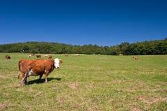 Koeien op het weiland Royalty-vrije Stock Afbeelding
