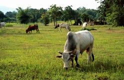 Koeien op het weiland Royalty-vrije Stock Foto's