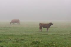 Koeien op het weiland Stock Foto's