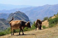 Koeien op het weiland in bergen van Armenië stock foto's