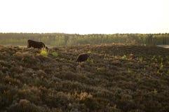 Koeien op heuvel Royalty-vrije Stock Afbeelding