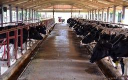 Koeien op Landbouwbedrijf Stock Foto
