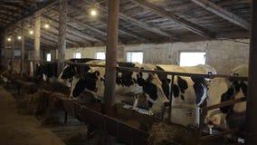 Koeien op Landbouwbedrijf Zwart-witte koeien die hooi in de stal eten schuur koeiestal stock videobeelden