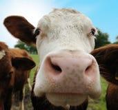 Koeien op landbouwgrond Royalty-vrije Stock Foto's
