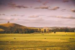 Koeien op landbouwgrond in Australië Stock Afbeeldingen