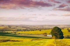 Koeien op landbouwgrond in Australië Stock Foto's