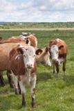 Koeien op medow stock afbeeldingen
