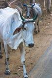 Koeien op straat van India Royalty-vrije Stock Afbeeldingen