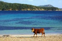 Koeien op strand Royalty-vrije Stock Foto