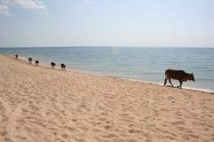 Koeien op strand Royalty-vrije Stock Afbeelding