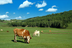 Koeien op weide Royalty-vrije Stock Afbeelding