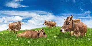 Koeien op weide Stock Afbeelding