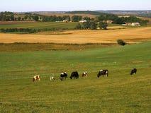 Koeien op weiland Royalty-vrije Stock Foto