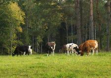 Koeien op weiland stock foto